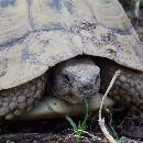 Quelle est la durée de vie d'une tortue domestique ?