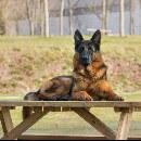 Top 10 des races de chien les plus intelligentes