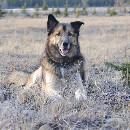 Oreille tombante chez le chien : comment redresser les oreilles de votre berger ?