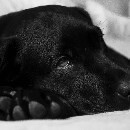Rhume chez le chien : homéopathie, huiles essentielles et autres remèdes