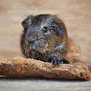 Maladies digestives chez le cochon d'Inde : constipation, diarrhée, ballonnements …