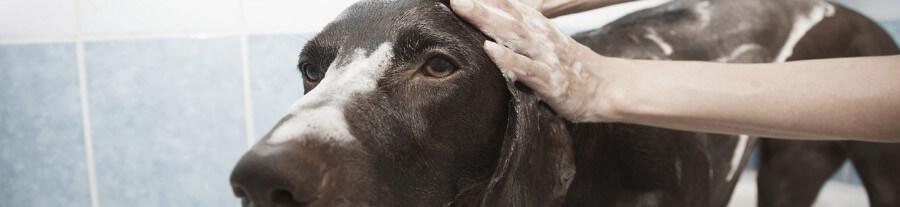 À quelle fréquence et comment faut-il laver son chien ?