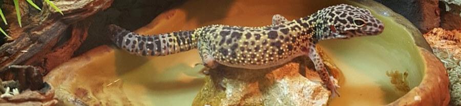Débuter avec le Gecko léopard