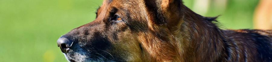 Quelles croquettes pour un chien âgé ?