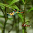 Quels poissons sont compatibles avec les guppys ?