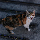 Mon chat me suit partout et miaule