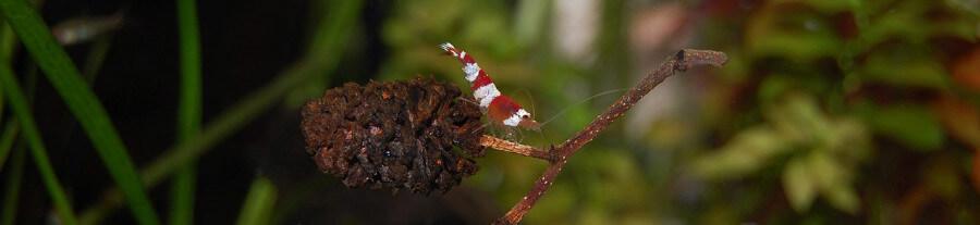 Top 10 d'espèces de crevettes pour votre aquarium