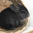 10 choses à savoir avant d'adopter un chinchilla