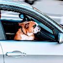 Que faire si on trouve un chien enfermé dans une voiture