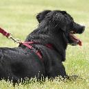 Collier ou harnais : que choisir pour mon chien ?