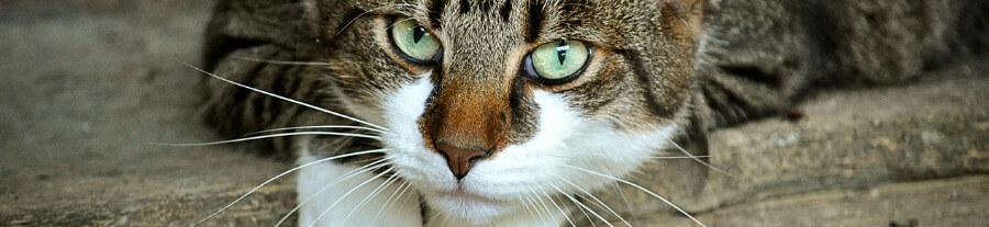 Levure de bière pour chat : usage, effets bénéfiques, posologie, avis