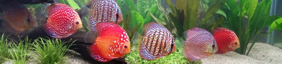 Quels poissons sont compatibles avec les discus ?
