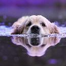 Top 10 des races de chiens qui aiment l'eau