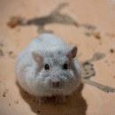 Comprendre le langage du hamster