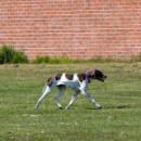 Top 10 des races de chiens d'arrêt