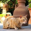 Chats roux : quelles races et particularités ?