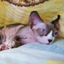 Les chats sans poil : origine, races, prix