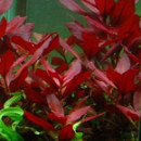 7 plantes d'aquarium à feuilles rouges