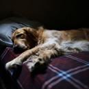 Le sommeil chez le chien : 4 troubles les plus courants
