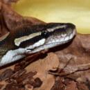 Conseils pour aménager un terrarium pour python royal