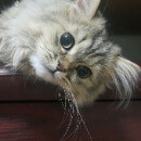 Toilettage du chat Persan