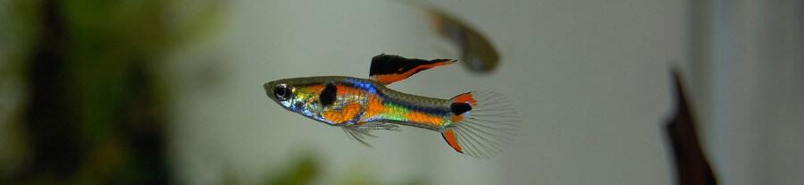 Quels poissons choisir pour un aquarium communautaire ?