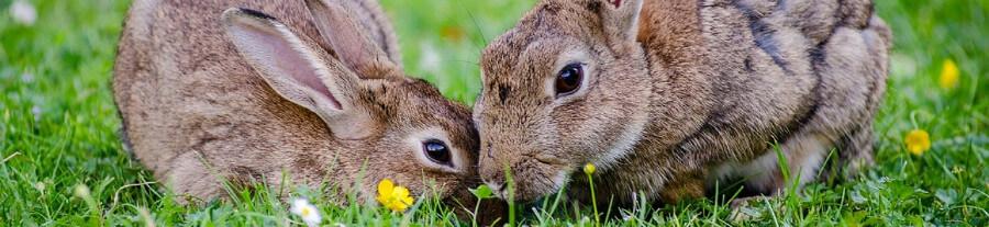 Cohabitation entre les lapins