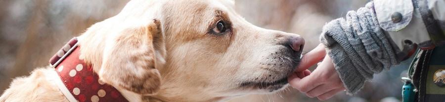 Santé du labrador