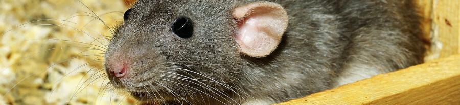 Les aliments interdits aux rats domestiques