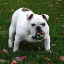 DIY : Jeux d'intelligence pour chien fait maison
