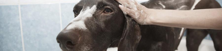 5 shampoings naturels pour toiletter son chien