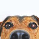 Conjonctivite chez le chien : guide pratique
