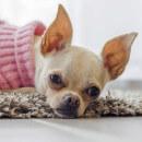 Pourquoi mon chien secoue ses oreilles ?