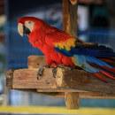Adopter un perroquet Ara comme oiseau de compagnie