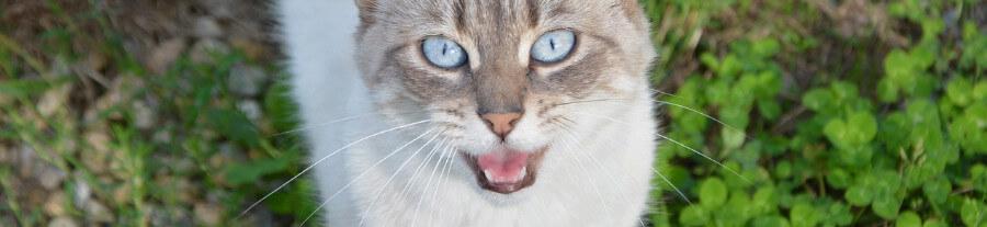 Mon chat a perdu sa voix et ne miaule pas, que faire ?