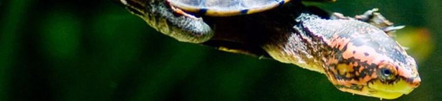 Les espèces de tortues aquatiques domestiques