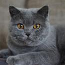 Les plus belles races de chats gris