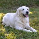 Top 10 des races de chiens les plus obéissants