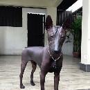 Une statue ou un vrai chien ? Histoire de Pipper, chien nu mexicain