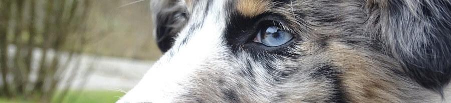 Les chiens préférés des français 2020 : grand zoom sur le Top 5
