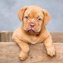 La parvovirose canine : de nombreux cas recensés au Calais