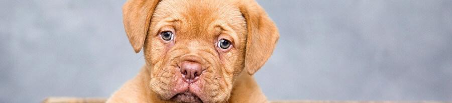 La parvovirose canine : de nombreux cas recensés à Calais