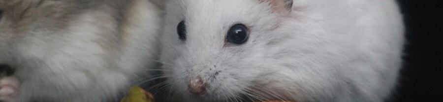 Les différentes races de hamster : comparatif de leurs comportements et de leurs prix