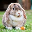 Pourquoi mon lapin tape du pied ?
