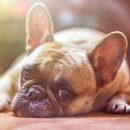 Boules, bosses, kystes et autres grosseurs chez le chien