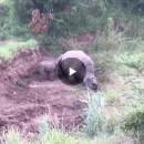 Ce bébé rhinocéros essaye de réanimer sa mère tuée pour sa corne