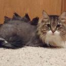 La coupe dino pour chats : nouvelle tendance pas si mignonne que ça !