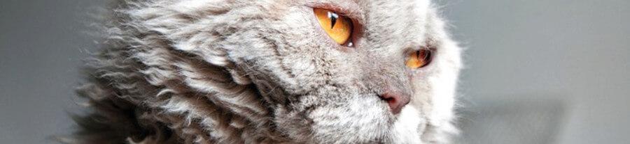 5 races de chats frisés
