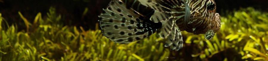 Plantes gazonnantes pour aquarium