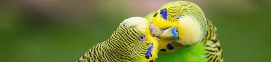 Perruche femelle agressive : causes et solutions